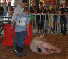 swine 13