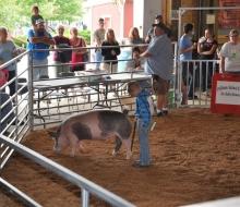 swine 2