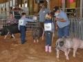 swine 10