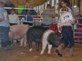 swine 12